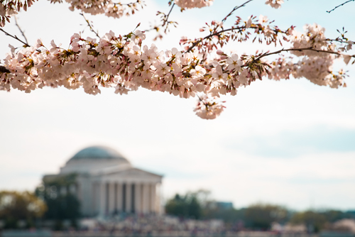cherry blossom images